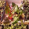 Kopfsalat Eichblatt grün und rot, Lollo Rosso, Lollo Bionda, Kohlrabi, Mangold